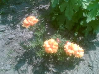 kert 4porcsínrózsám