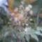 Szoba arálea virággal (Fatsia)