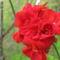 Piros rózsabokor virága