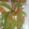szobapáfrány