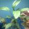 vitorla virág
