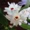 Dendrobium Orchidea ontja a virágot