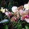Phalaneopsis Orchidea