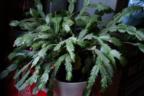 Újra virágzik a karácsonyi kaktuszom