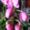 Lepke Orchidea /másodjára nyillik/