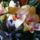 concorde_orchidea