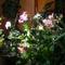 Orchideák szobanövények között