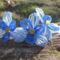 kék orhidea