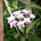 Hoya bella (virága)