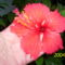 piros, recés szélű,szimpla virágú hibiscus (P3)
