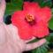 piros, szimpla virágú hibiscus (P2)