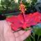 piros,szimpla virágú hibiscus (P2)