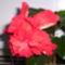 recés szélű, dupla virágú piros hibiscus1(P4)