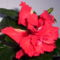 recés szélű, dupla virágú, piros hibiscus2 (P4)