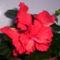 recésszélű, dupla virágú piros hibiscus(P4)