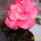 rózsaszín hibiscus virága