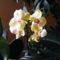 Concorde Orchidea