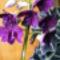 Dendrobium Orchidea