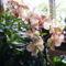 Lepke Orchidea 11