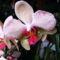 Lepke Orchidea 3