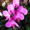 Lepke Orchidea 5
