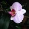 Lepke Orchidea 8