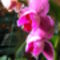 Lepke Orchidea 9