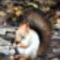 Közönséges erdei mókus