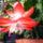 Karácsonyi kaktusz /közelről/