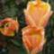 Rojtos szélű tulipán