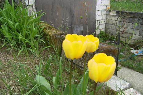 sárga_tulipán