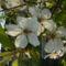 virágzó_cseresznye