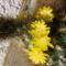 virágzó_kaktusz