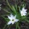 knofi (fokhagyma virág)