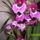 Árvácska orchidea 3