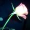Az én virágaim 013
