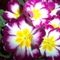Az én virágaim 016