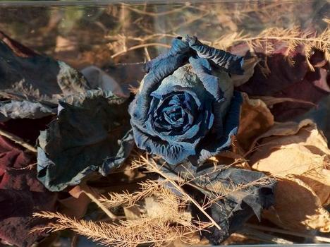 kék rózsa-1
