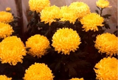krinantém kicsi sárga