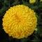 krizantém sárga