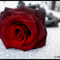 rózsa-11