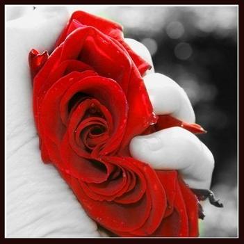 rózsa-14
