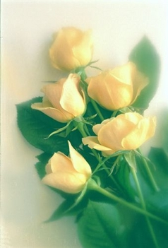 rózsa-3