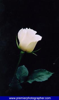 rózsa-4