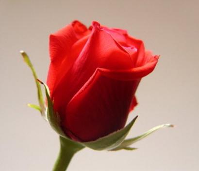rózsa-5
