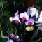 Lepke Orchidea