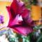 liliom 916Dendribium Orchidea