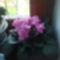 Rózsaszín fokföldim 2010.május