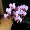 Lepke Orchidea ötödjére virágzik