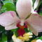 Lepke Orchidea ujra nyillik1